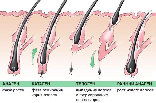 Жизненный цикл волоса