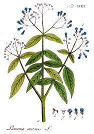 Лавсония неколючая культивируется в теплых странах как лекарственное, декоративное и красильное растение.