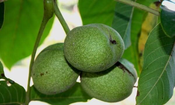 Наиболее подходящее время для сбора ореховых листьев – начало лета
