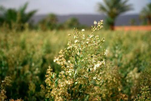 Хна – персидское название кустарника лавсонии, из которого и получают одноименный краситель.