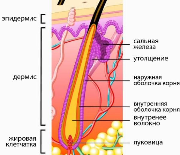 Схема размещения луковицы в коже