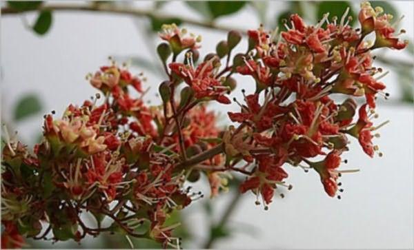 На фото лавсония – кустарник, из листьев которого изготовляют хну