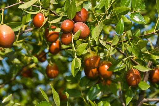 Растение Жожоба