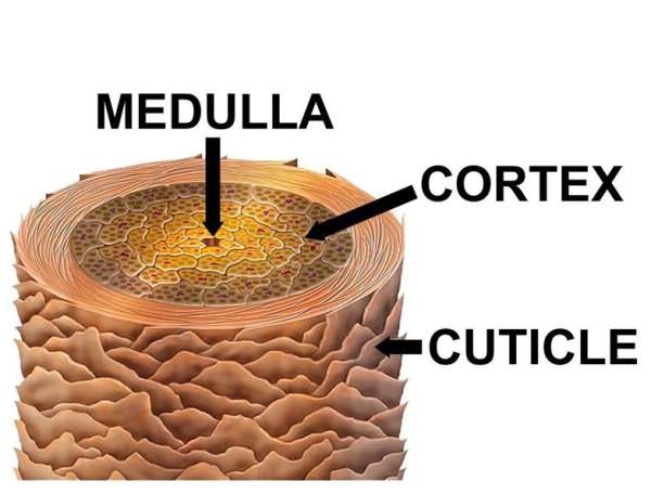 Медулла в центре волоса