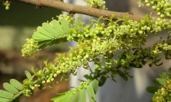 Священное дерево амалаки