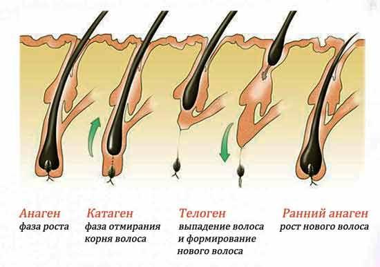 Схематичное изображение жизненного цикла волос