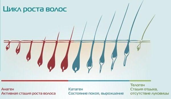 Цикл роста волос: схема