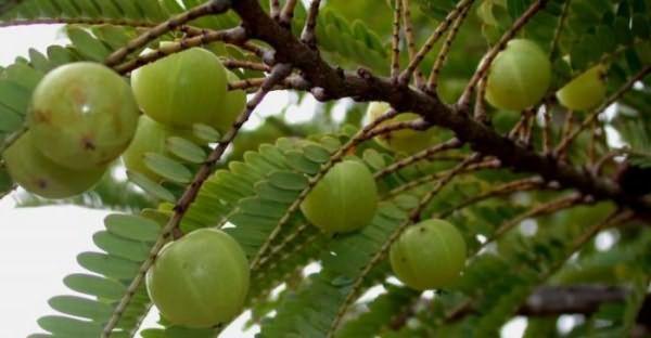 Плоды амлы