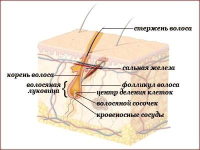 Схема строения волоса (внутренняя его структура)