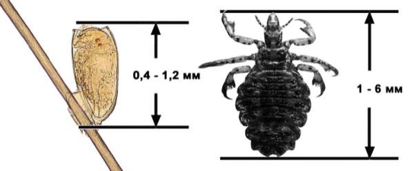 Размеры паразитов и способ крепления гниды к волосу