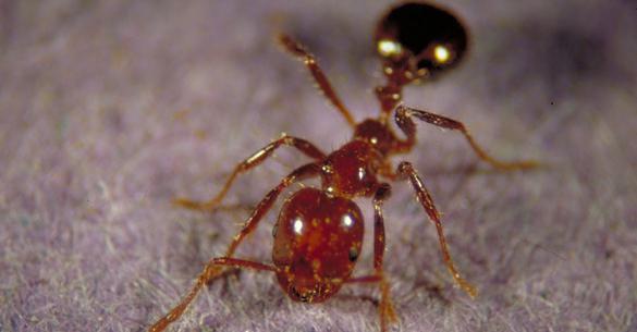муравьиное масло против роста волос