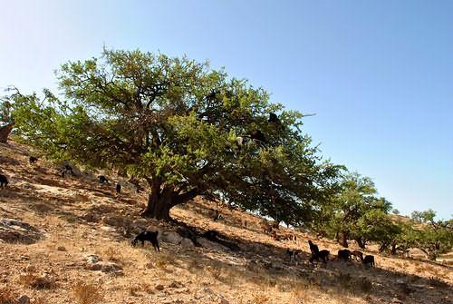 На фото – аргановое дерево