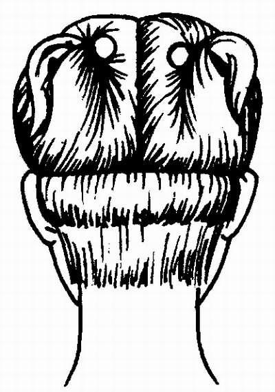 линия «шапочки» и линия окантовки
