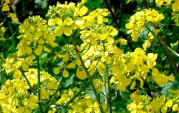 Горчица (растение)