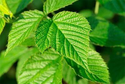 Листья малины не только обеспечат маску питательными веществами, но и приятным ароматом