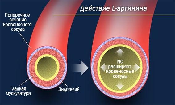 Просто о сложном – принцип воздействия аргинина на кровеносные сосуды