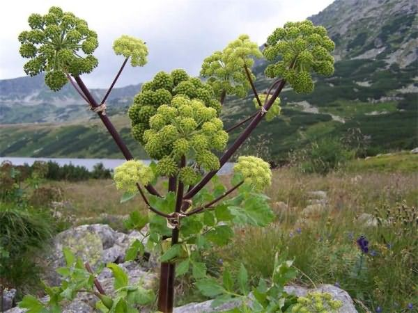 Фото растения дягиль, которое произрастает на территории Западной Сибири и практически всей Европы