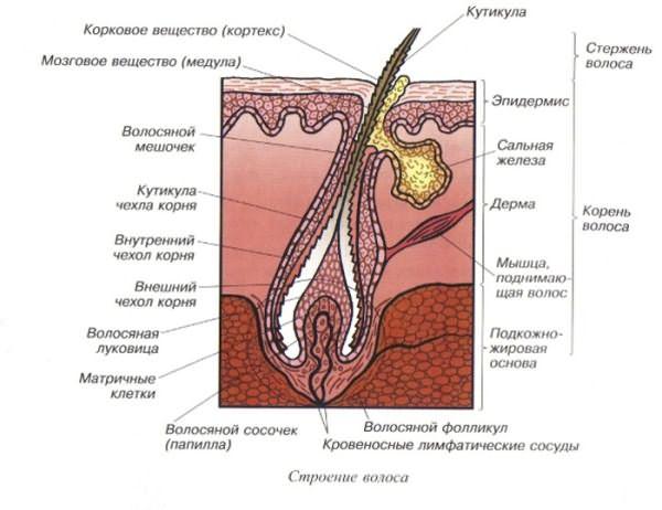 На фото представлено внутреннее строение волоска в разрезе