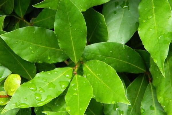 Лавровый лист придаст вашим прядям гладкость и естественный блеск.